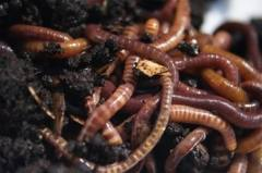 Vermicast African Nightcrawler Worms